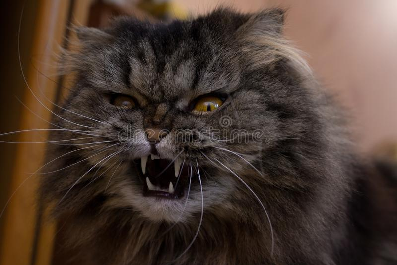 Close up portrait of serious angry gray furry scotish cat with orange eyes and big fangs royalty free stock images