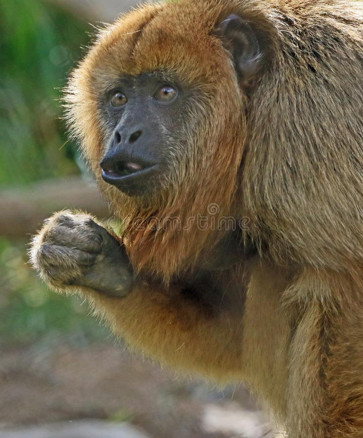 Howler Monkey. Close Up Portrait Of Sexually Dimorphic South American Female Howler Female royalty free stock photo
