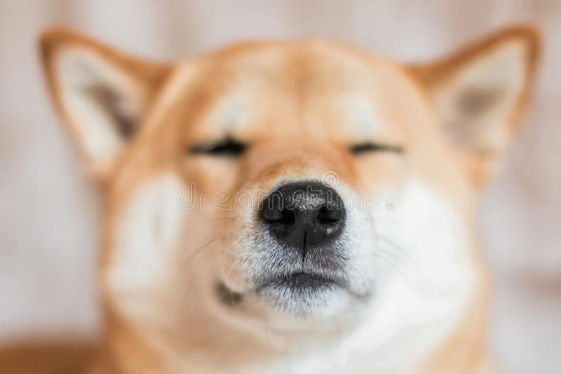 Close up portrait of a Shiba inu dog. Selective focus. Front view stock images