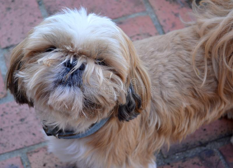 Portrait of a shih tzu dog. Close-up portrait of a shih tzu dog royalty free stock image