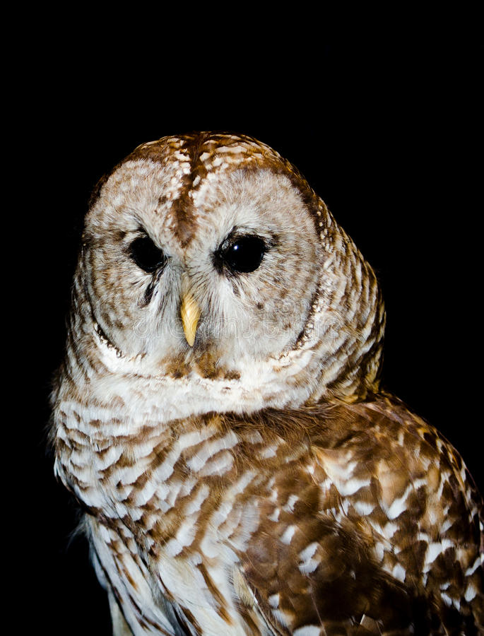 Closeup portrait of a short eared owl royalty free stock images