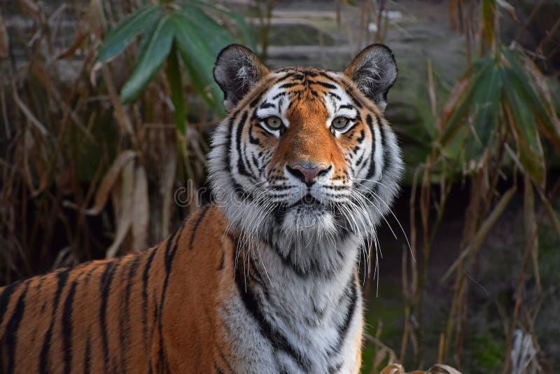 Close up portrait of Siberian Amur tiger. Close up portrait of young Siberian tiger Amur tiger, Panthera tigris altaica, looking at camera stock photos