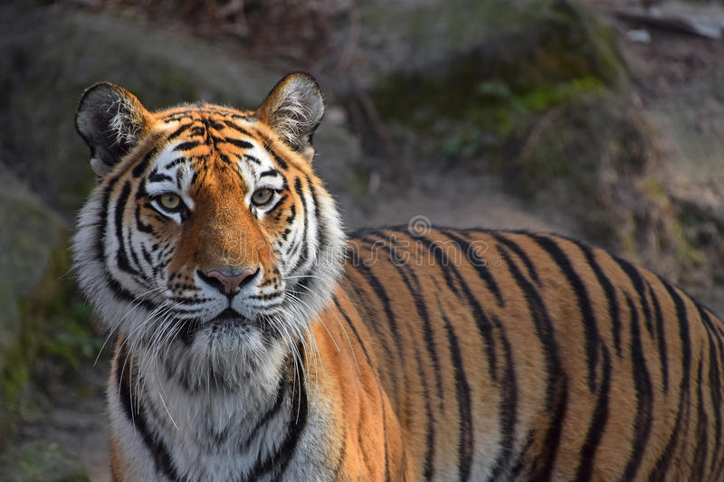 Close up portrait of Siberian Amur tiger. Close up portrait of young Siberian tiger Amur tiger, Panthera tigris altaica, looking at camera royalty free stock photography