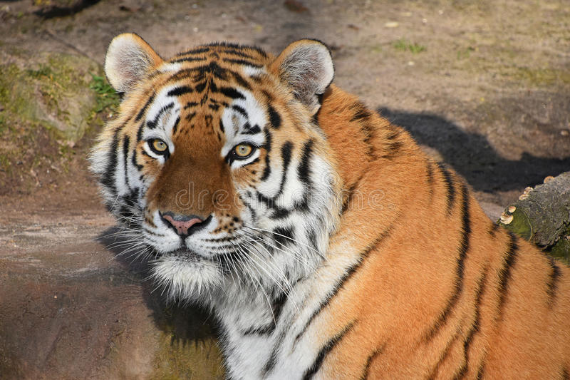 Close up portrait of Siberian Amur tiger. Close up portrait of young Siberian tiger Amur tiger, Panthera tigris altaica, looking at camera royalty free stock photo