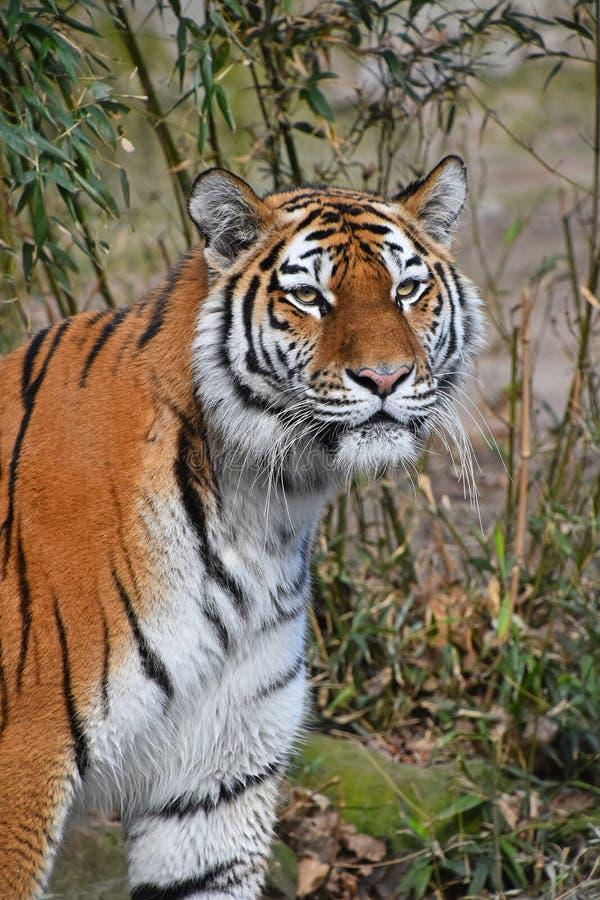 Close up portrait of Siberian Amur tiger. Close up portrait of young Siberian tiger Amur tiger, Panthera tigris altaica, looking at camera stock images