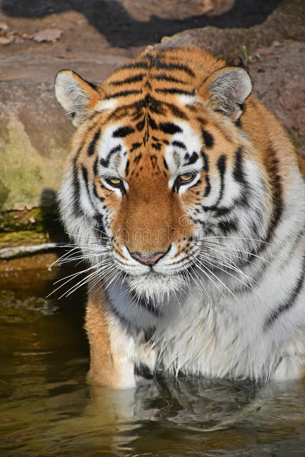 Close up portrait of Siberian Amur tiger. Close up portrait of young Siberian tiger Amur tiger, Panthera tigris altaica male in water, looking at camera, high royalty free stock photography