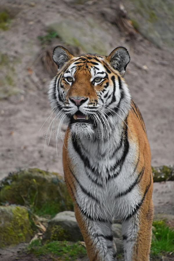 Close up portrait of Siberian Amur tiger. Close up portrait of young Siberian tiger Amur tiger, Panthera tigris altaica, mouth open, looking at camera stock images
