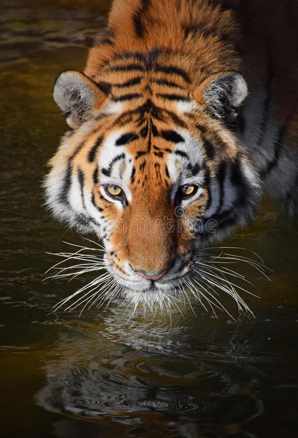 Close up portrait of Siberian Amur tiger. Close up portrait of young Siberian tiger Amur tiger, Panthera tigris altaica in water, looking at camera, high angle stock images