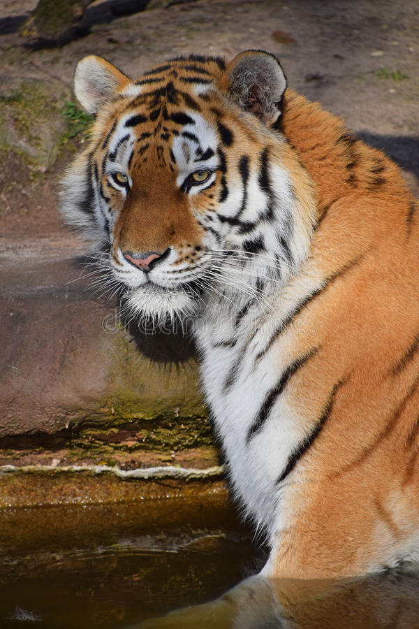 Close up portrait of Siberian Amur tiger. Close up portrait of young Siberian tiger Amur tiger, Panthera tigris altaica in water, looking at camera, high angle royalty free stock images