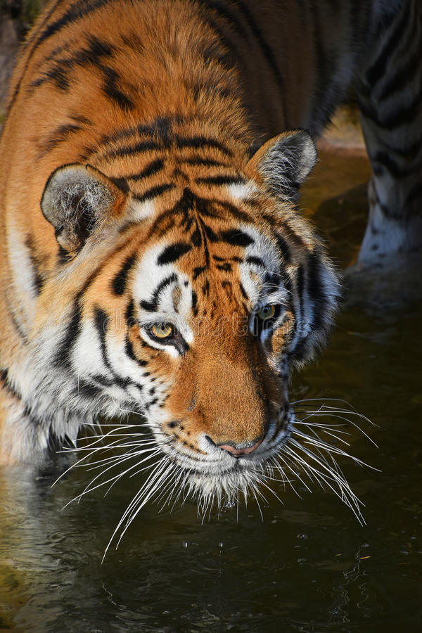 Close up portrait of Siberian Amur tiger. Close up portrait of young Siberian tiger Amur tiger, Panthera tigris altaica in water, looking at camera, high angle royalty free stock image
