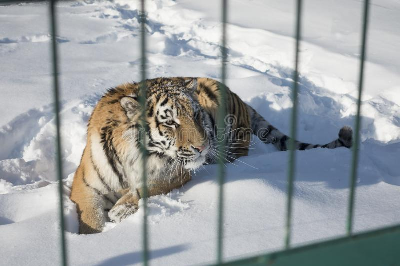 Close-up portrait of Siberian Tiger, Beautiful face portrait of. Amur Tiger stock photography