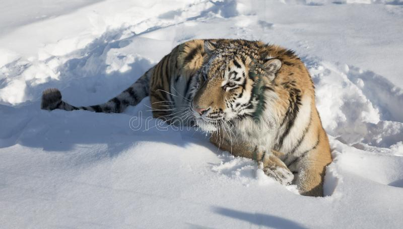 Close-up portrait of Siberian Tiger, Beautiful face portrait of Amur Tiger stock images