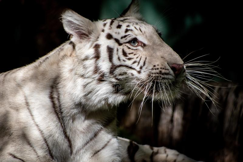 Portrait of a white tiger. Close up portrait, side view, of a white tiger looking off to the side royalty free stock photos