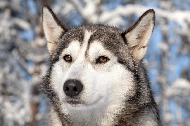 Close-up portrait of sled dog royalty free stock images