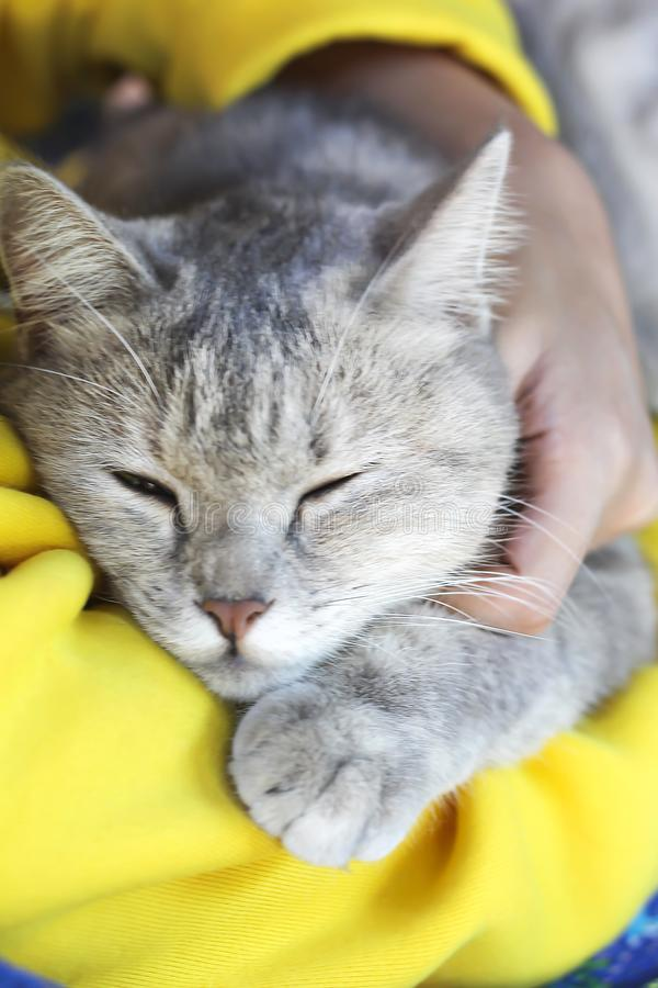 Portrait of sleeping cat in owner`s arms. Close up Portrait of sleeping cat in owner`s arms stock photography