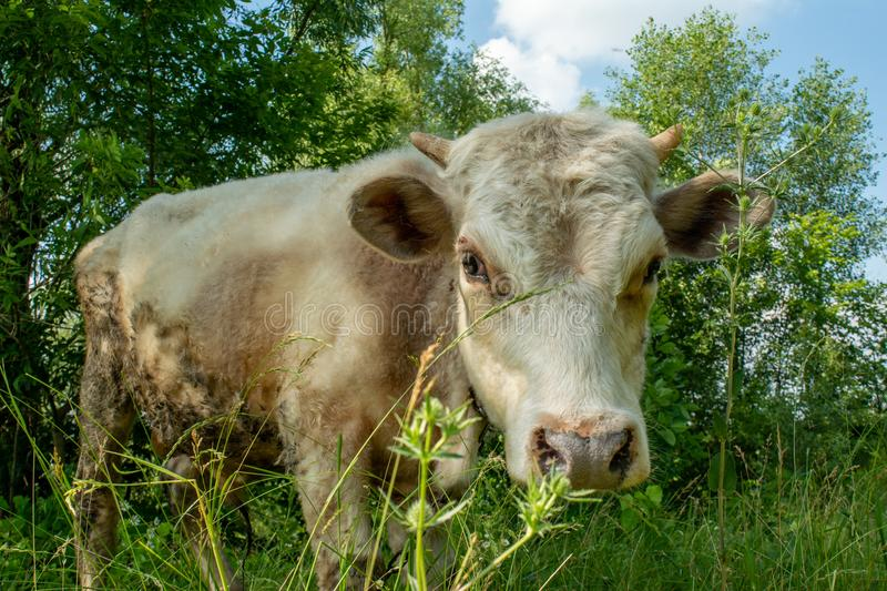 Close up portrait of a small cow`s calf in the field stock photo