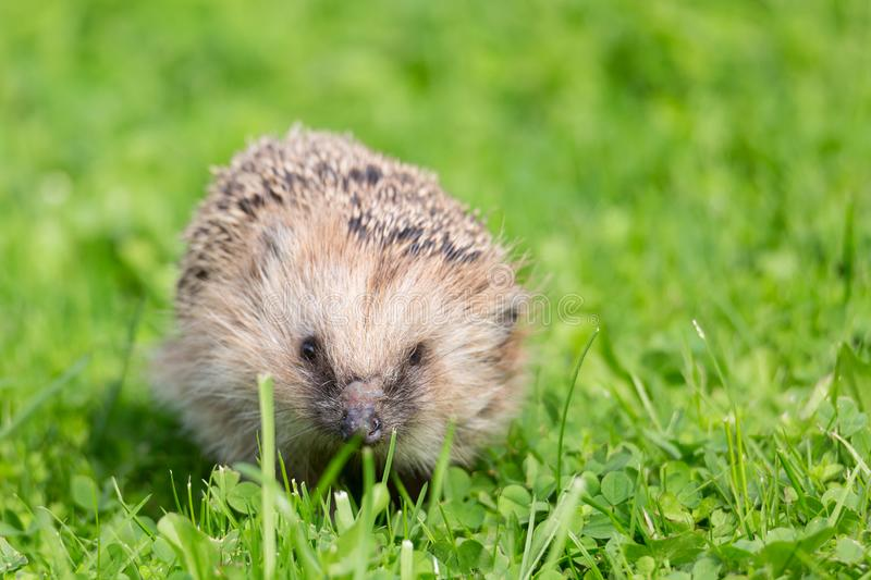 Close up portrait of small European hedgehog on green grass. Erinaceus europaeus. stock photos