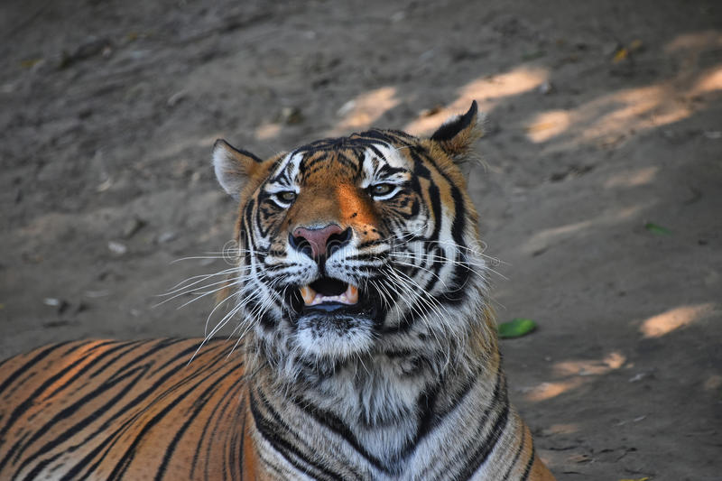 Close up portrait of Sumatran tiger roaring. Close up portrait of Sumatran tiger Panthera tigris sumatrae roaring and looking at camera stock images