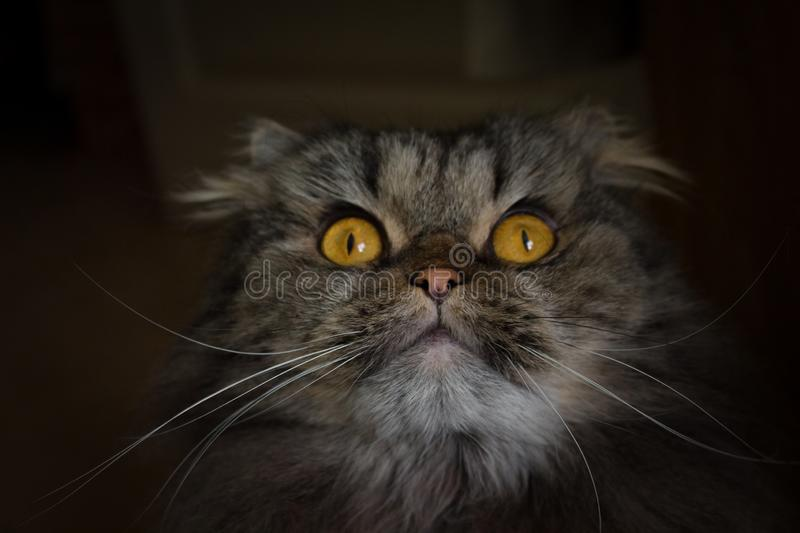 Portrait of surprised open-eyed gray scotish cat with big orange eyes looking up royalty free stock image