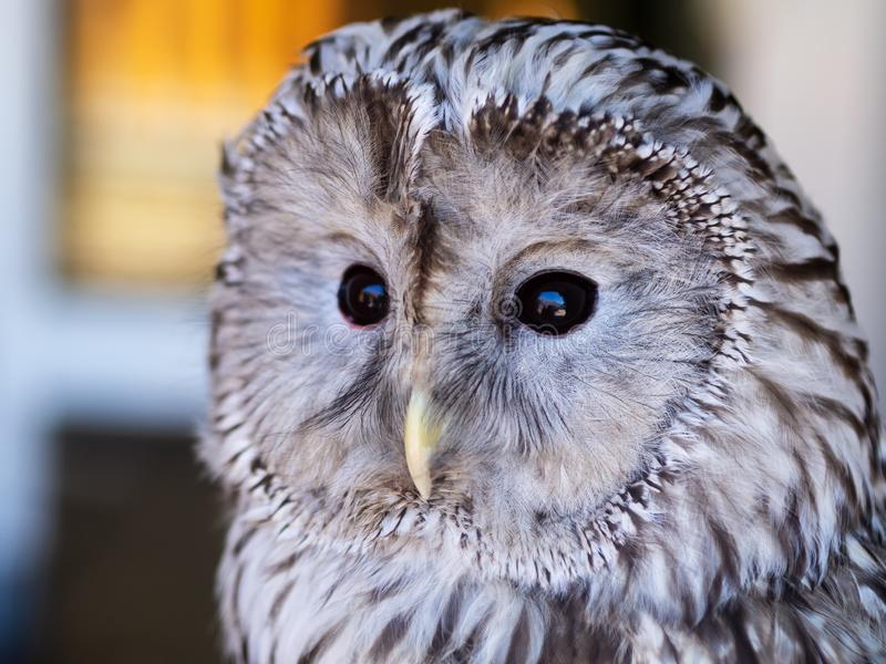 Portrait of tawny owl, white and black color stock photos