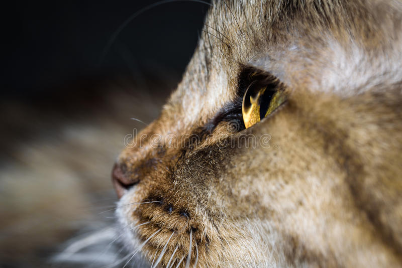 Close Up Portrait of a three colored Housecat in Studio.  stock photos