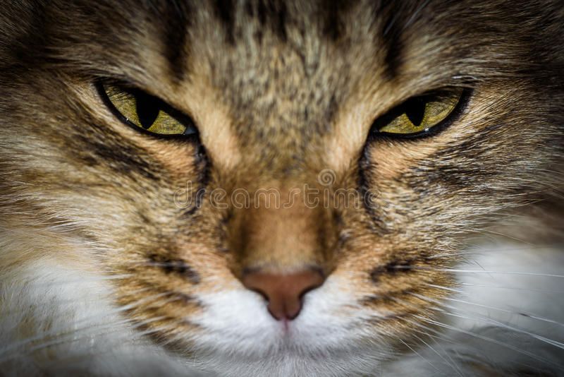 Close Up Portrait of a three colored Housecat in Studio.  royalty free stock image