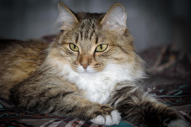 Close Up Portrait of a three colored Housecat in Studio.  royalty free stock photo