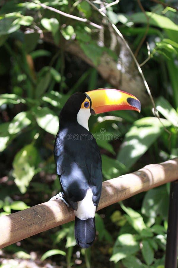Close-up portrait of the toco toucan with bright orange beak and blue eyes. Ramphastos toco.Brazil. Iguazu. stock image
