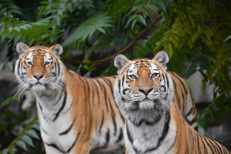 Close up portrait of two Amur tigers stock images