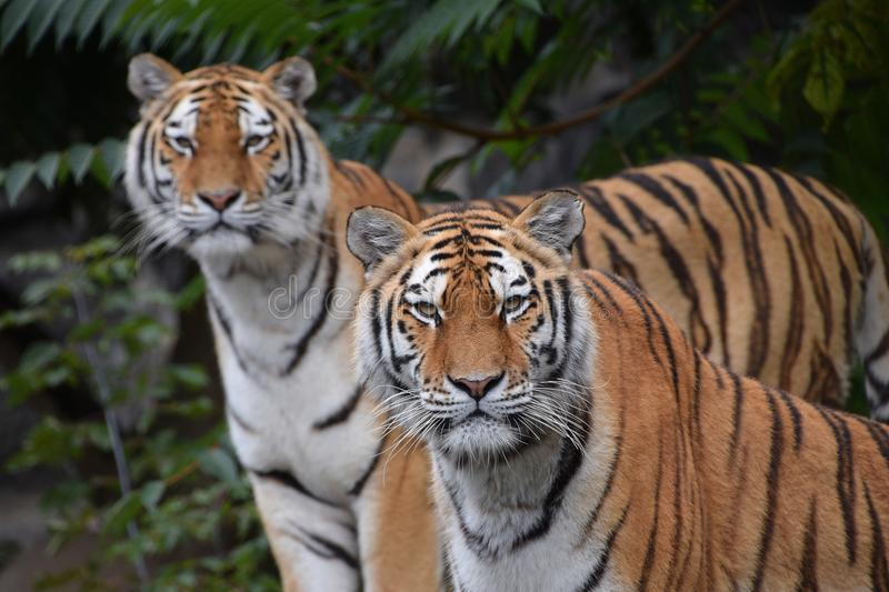 Close up portrait of two Amur tigers royalty free stock photos