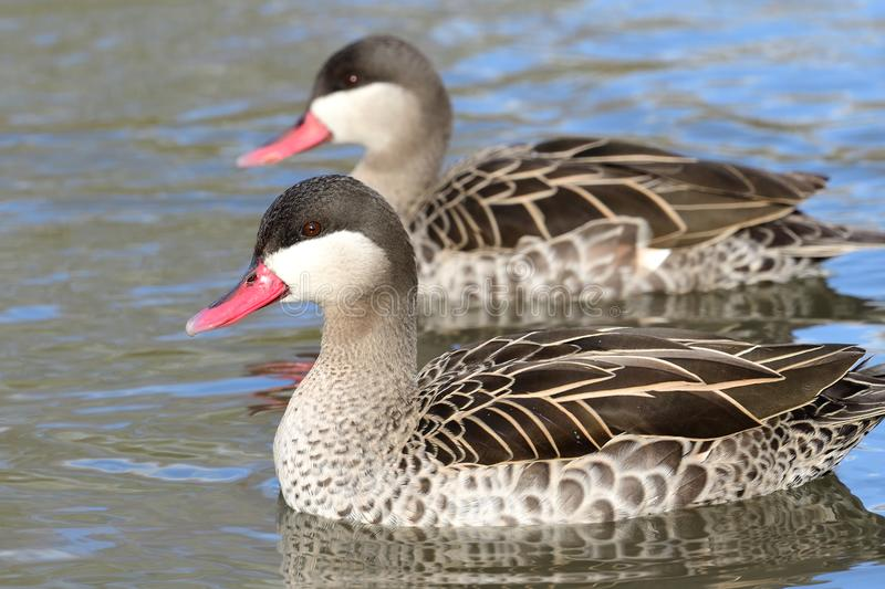 Red billed teal. Close up portrait of two red billed teal swimming in the water royalty free stock photos