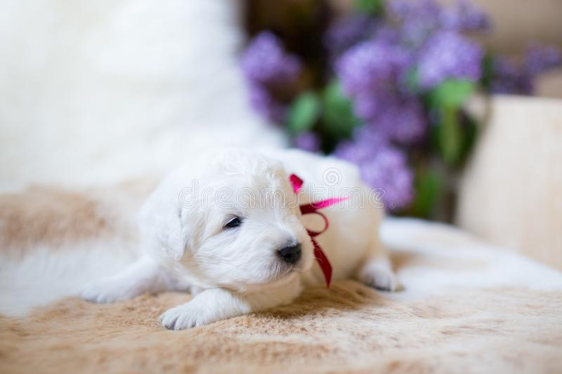 Close-up Portrait of two weeks old maremma puppy with red ribbon sleeping on the cow`s fur. stock photos