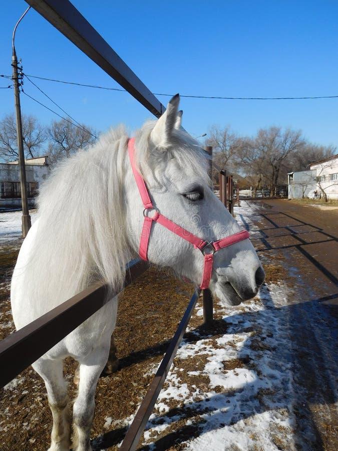 Cute white horse face closeup royalty free stock photos