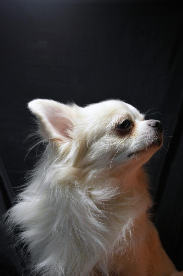 Close-up portrait of a white long-haired chihuahua dog on a black drapery background royalty free stock image