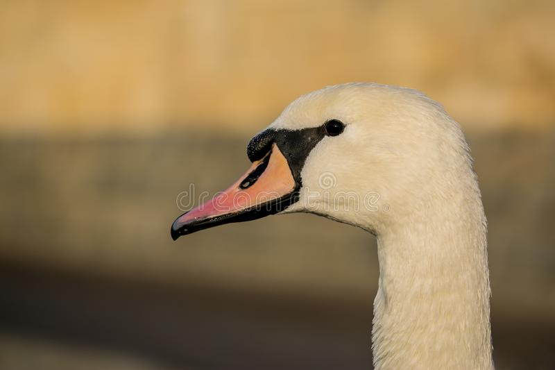 Close up portrait of white mute swan in sunset light. Head with black eye, orange beak and long neck, blurry brown background, copy space stock images