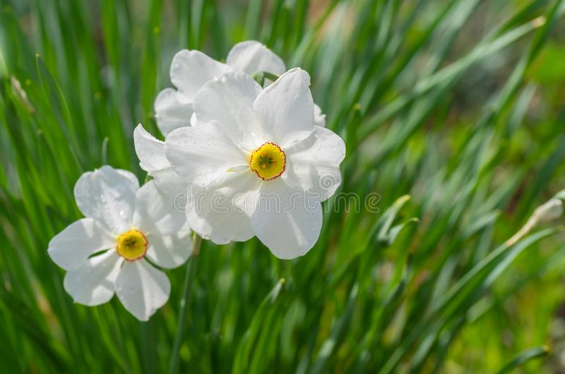 Portrait of white narcissus family stock photography