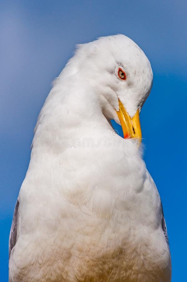 Close-up portrait of white Seagull cleaning washing its feathers. The Larus Argentatus or the European herring gull, seagull is a. Large gull up to 65 cm long stock photography