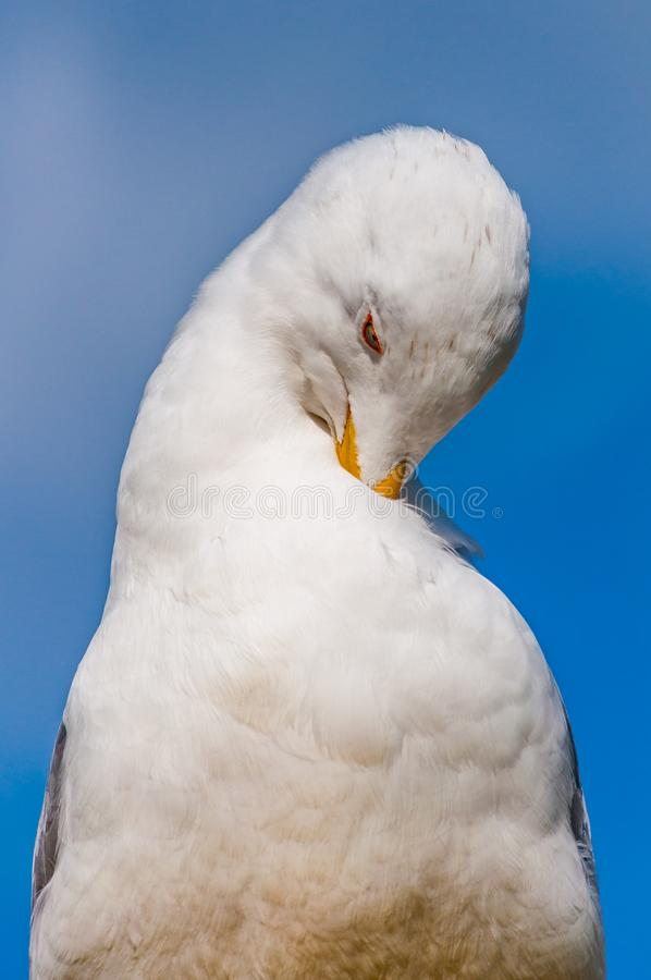 Close-up portrait of white Seagull cleaning washing its feathers. The Larus Argentatus or the European herring gull, seagull is a. Large gull up to 65 cm long stock images