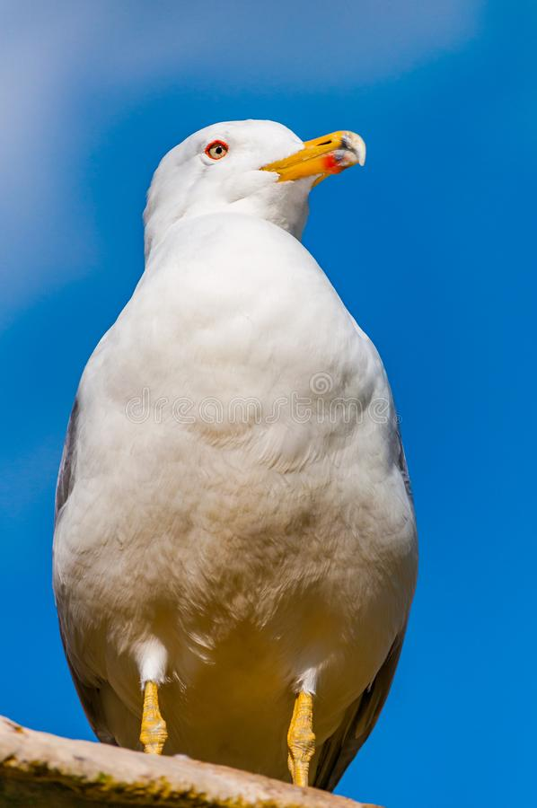 Close-up portrait of white Seagull. The Larus Argentatus or the European herring gull, seagull is a large gull up to 65 cm long. One of the best known of all royalty free stock image