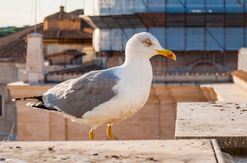 Close-up portrait of white Seagull. The Larus Argentatus or the European herring gull, seagull is a large gull up to 65 cm long. One of the best known of all stock photos