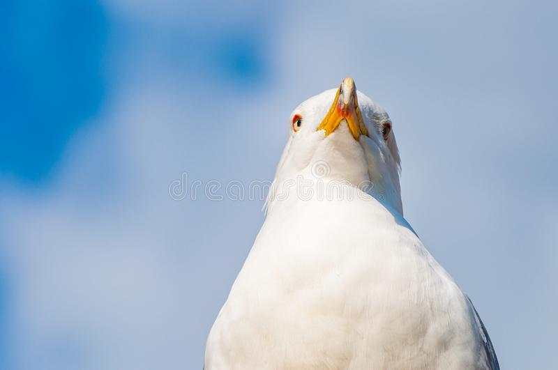 Close-up portrait of white Seagull. The Larus Argentatus or the European herring gull, seagull is a large gull up to 65 cm long. One of the best known of all royalty free stock photo