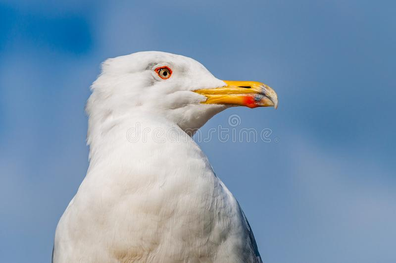 Close-up portrait of white Seagull. The Larus Argentatus or the European herring gull, seagull is a large gull up to 65 cm long. One of the best known of all stock image