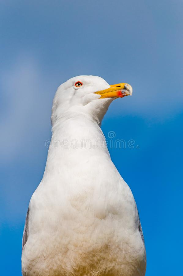 Close-up portrait of white Seagull. The Larus Argentatus or the European herring gull, seagull is a large gull up to 65 cm long. One of the best known of all stock photo