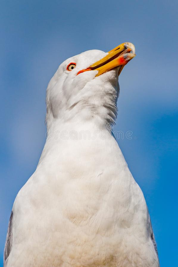 Close-up portrait of white Seagull showing tongue. The Larus Argentatus or the European herring gull, seagull is a large gull up. To 65 cm long. One of the best stock photo