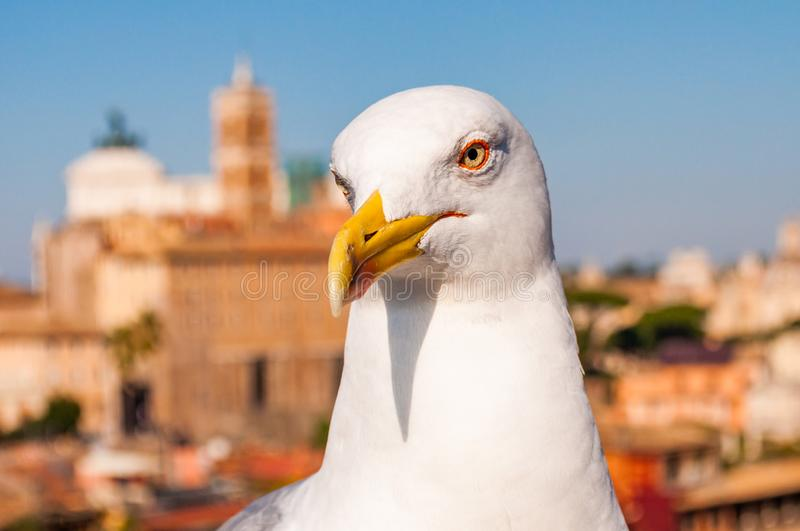 Portrait of white Seagull sitting on the roof. The Larus Argentatus or the European herring gull, seagull is a large gull up to 65. Close-up portrait of white royalty free stock photo