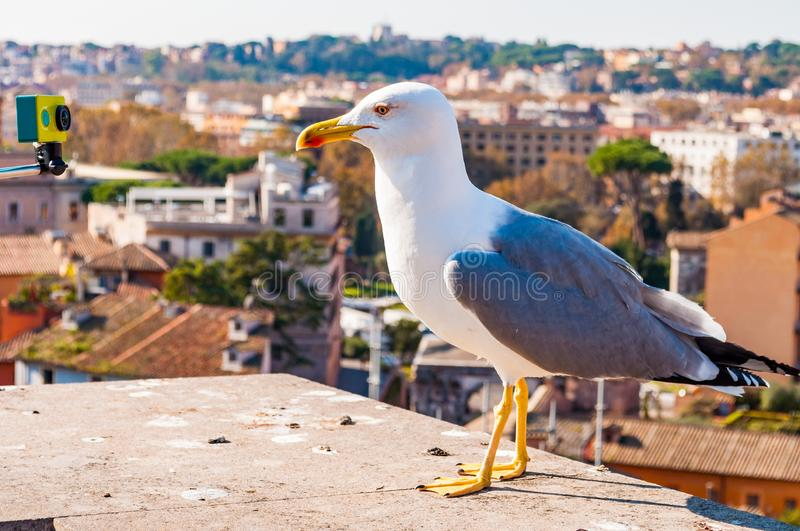 Portrait of white Seagull sitting on the roof and posing to the camera. The Larus Argentatus or the European herring gull, seagull. Close-up portrait of white stock images
