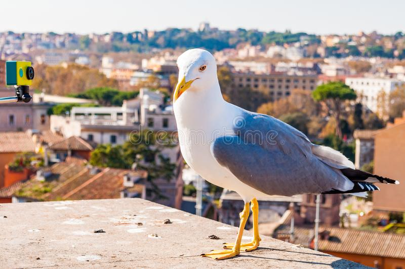 Portrait of white Seagull sitting on the roof and posing to the camera. The Larus Argentatus or the European herring gull, seagull. Close-up portrait of white royalty free stock photography