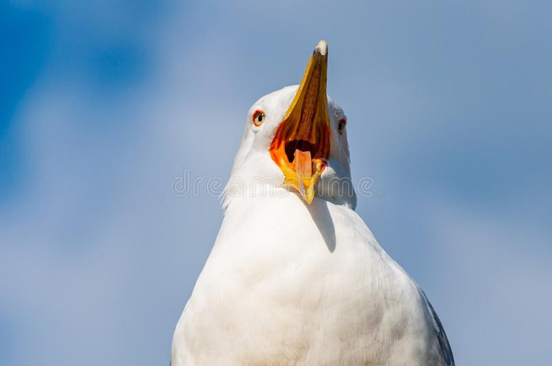 Close-up portrait of white Seagull with wide open yellow beak. The Larus Argentatus or the European herring gull, seagull is a. Large gull up to 65 cm long. One stock photography