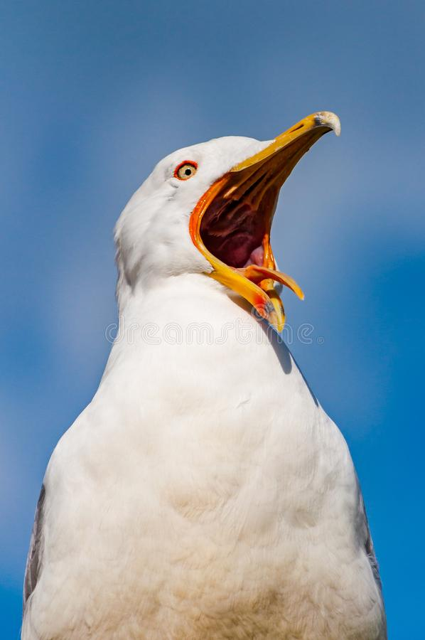 Close-up portrait of white Seagull with wide open yellow beak. The Larus Argentatus or the European herring gull, seagull is a. Large gull up to 65 cm long. One stock images