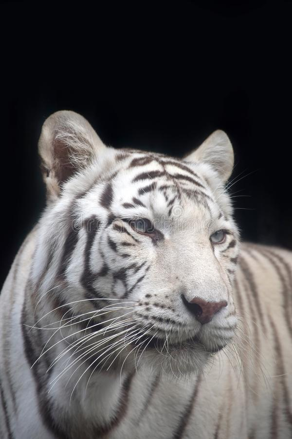 Close up portrait of white tiger. Close up front portrait of one white tiger looking at camera over black background, low angle view stock photos